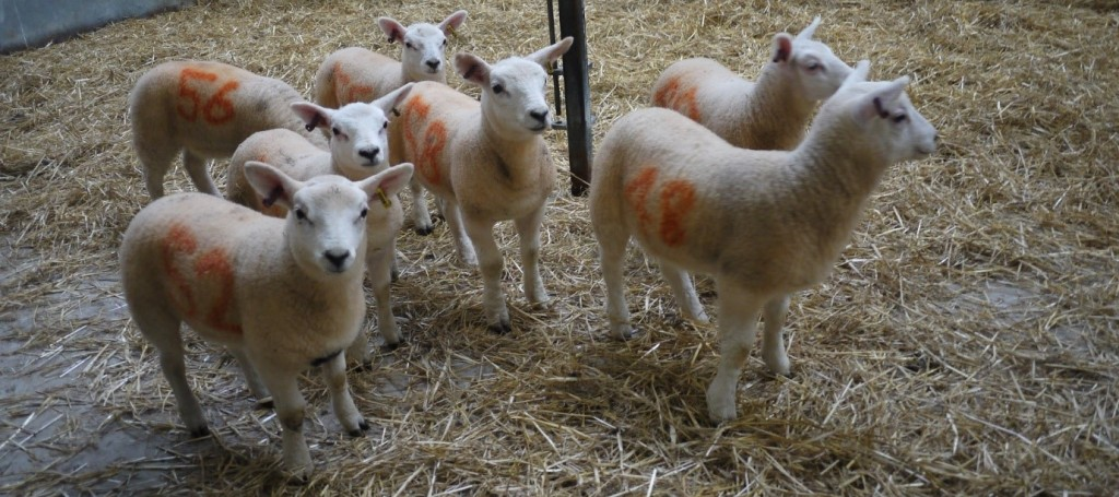 Lambs at Moredun Research Institute